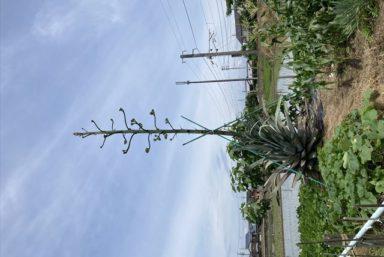 ライファ今治:お客様から大変珍しい植物の苗をいただきました。